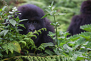 A close-up of an endangered mountain gorilla(Gorilla beringei beringei), Volcanoes National Park, Rwanda