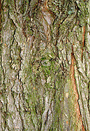 European White Elm Ulmus laevis (Ulmaceae) HEIGHT to 20m. Broadly spreading tree with an open crown. BARK Grey and smooth when young, deeply furrowed with age. BRANCHES Twigs are reddish-brown and softly downy, but become smooth with age. LEAVES To 13cm long, with markedly unequal bases and toothed margins. Leaf veins are paired, and longer side has 2–3 more veins than the other. Upper leaf surface is usually smooth but underside is normally grey-downy. REPRODUCTIVE PARTS Flowers are produced in long-stalked clusters. Fruits are winged and papery, with a fringe of hairs; in pendulous clusters. STATUS AND DISTRIBUTION Native of mainland Europe, possibly native in Britain in the past but now probably extinct.