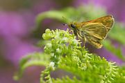 Large skipper butterfly (Ochlodes faunus) on heathland border. Purbeck, Dorset, UK.