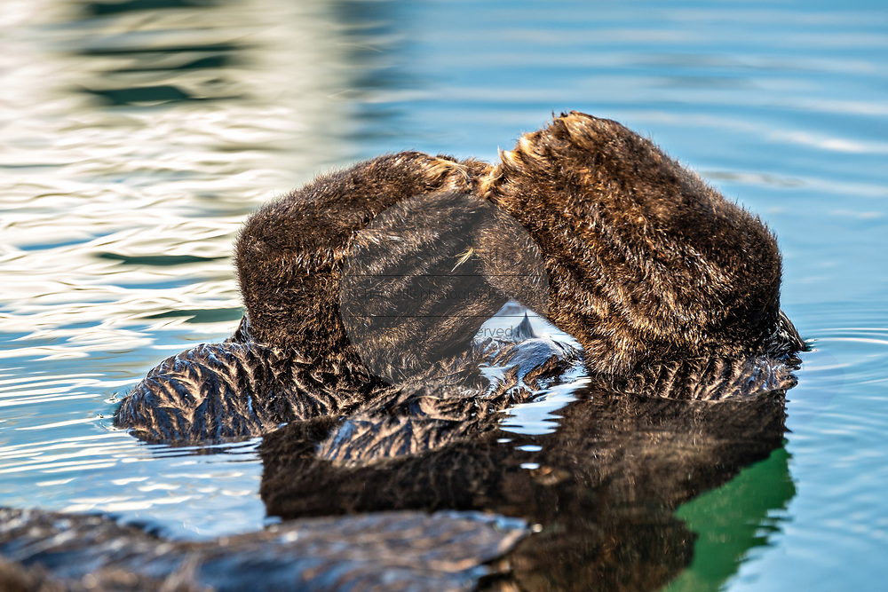 The flipper feet of a northern sea otter as it floats in Kachemak Bay at the City of Homer Port & Harbor marina in Homer, Alaska.