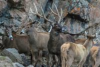 White-lipped deer, Cervus albirostris, China, Garze Prefecture, Serxu County.