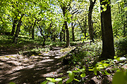 Walking tracks and paths through the green trees of Egypt Woods on the north coast of Jersey, CHannel Islands
