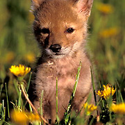 Coyote, (Canis latrans) Pup on field of dandelions. Late spring. Montana. Captive Animal.