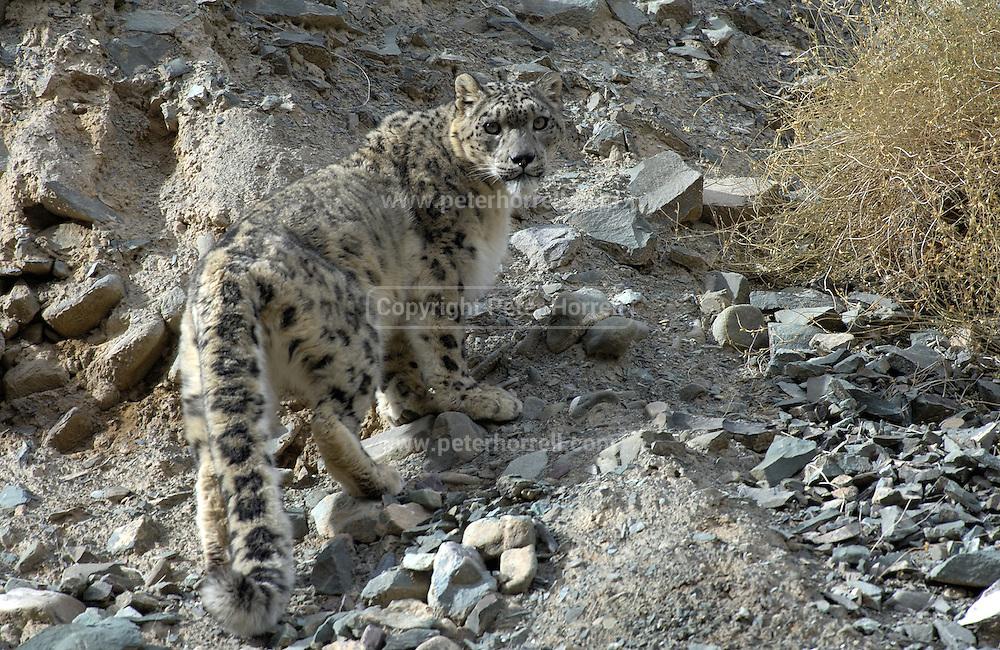 Adult male snow leopard (unica unica) ascends rocky slope in Ladakh.