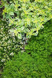 Herb bed with Chamaemelum nobile (Chamomile), Oreganum vulgare 'Country Cream' (oregano) and Thymus 'Alba' (Thyme)