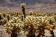 Cholla Cactus Garden, Joshua Tree National Park, near Twentynine Palms, California, USA. The park straddles the cactus-dotted Colorado Desert and the Mojave Desert, which is higher and cooler.