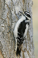 Downy Woodpecker - Picoides pubescens - Adult female
