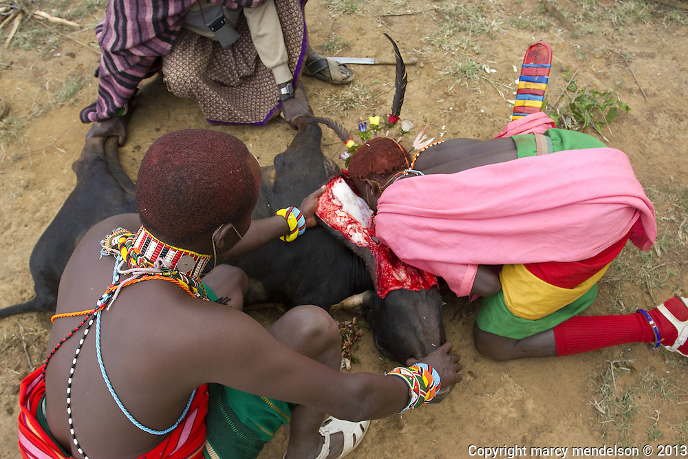 A moran drinks blood directly from the throat of a still-kicking cow during the Lmuget ceremony.  Women are not permitted to be present during this portion of the graduation.  Outside Kisima, Samburu County, Kenya.  August 22, 2013.