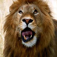 Africa, Kenya, Maasai Mara. Face of Lion in Maasai Mara.