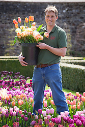 Tom Brown with the tulip trial at Parham House and Garden