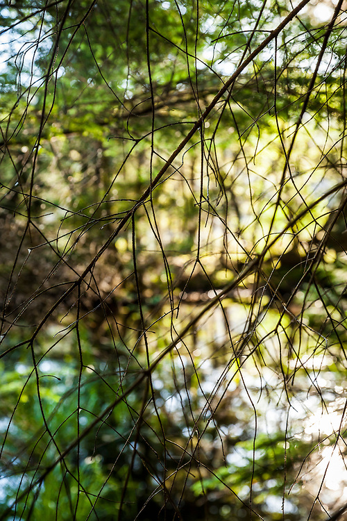 A closeup of bare understory branches of a tree with water behind and backlit forest. Mountain Lake, Moran State Park, Orcas Island, Washington, USA.