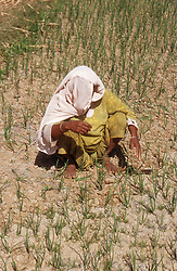 Woman working in field of onions,