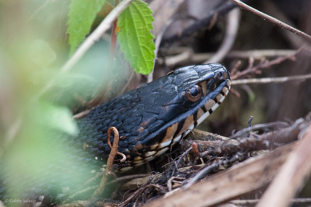 Banded water snake (Nerodia fasciata pictiventris). Corkscrew Swamp Sanctuary, National Audubon Society, Naples, Florida.