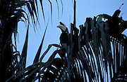 A hornbill sits in a tree at dusk in Tabin Park.