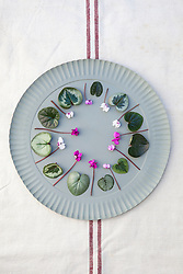 Mixed Cyclamen coum flowers and foliage on a round metal tray