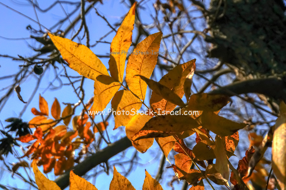 Fall coloured leaves on a pecan tree in a plantation