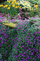 Spring group on a wall at Great Dixter. Aubretia, Bergenia stracheyi, Primula vulgaris and Narcissus 'Jetfire'