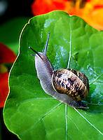 HAARLEM - Op het veld, in de tuin en ook in hun blootje: slakken kunnen een ware plaag zijn. Door aangevreten bladeren en stengels verraden ze hun aanwezigheid. Een enkele soort laat een zilvergrijs spoor na op tegels en andere verhardingen. De gewone tuinslak (Cepaea nemoralis) is een slak uit de familie Helicidae. Andere benamingen zijn duinslak, of roze tuinslak. COPYRIGHT KOEN SUYK