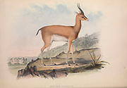 Antelope From the book Zoologia typica; or, Figures of new and rare animals and birds described in the proceedings, or exhibited in the collections of the Zoological Society of London. By Fraser, Louis. Zoological Society of London. Published by the author in London, March 1847