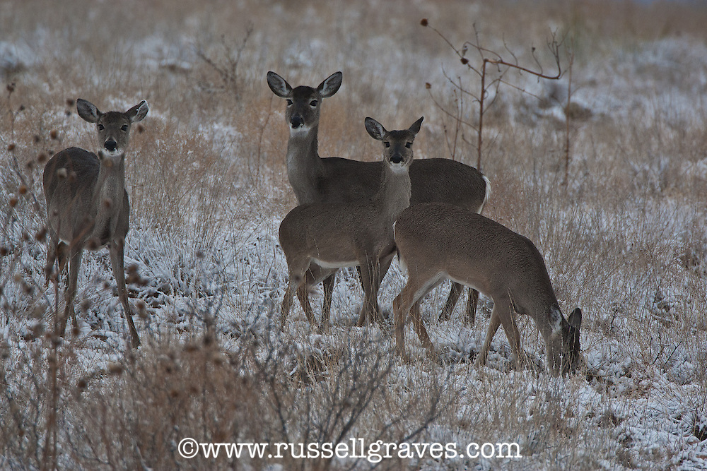 Whitetail does and fawns in the snow.