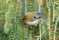 Goldcrest (Regulus regulus) clearly showing gold on top of head, Westerham, England: Photo by Peter Llewellyn