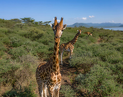 Mike Parkei, a ranger for Ruko Conservancy looks after 8 Rothschild's (Nubian) giraffes who have become stranded on Longicharo Island, a rocky lava pinnacle, inside Lake Baringo in western Kenya, November 28, 2020. Rising lake levels have cut the peninsula into an island, trapping the giraffes, and the local community is working with conservation organizations to keep them alive. The plan is to move the giraffe on a barge for 1.1. miles to the 4,400-acre fences sanctuary within the 44,000 acre Ruko Conservancy. The herd includes one make names Lbarnnoti and seven females: five adults named Nkarikoni, Nalangu, Awala, Asiwa and Nasieku; and two juveniles, Susan and Pasaka. Asiwa is isolated on a far part of the island. Today, fewer than 3,000 Rothschild's giraffes are left in Africa, with about 800 in Kenya.   (Photo by Ami Vitale)