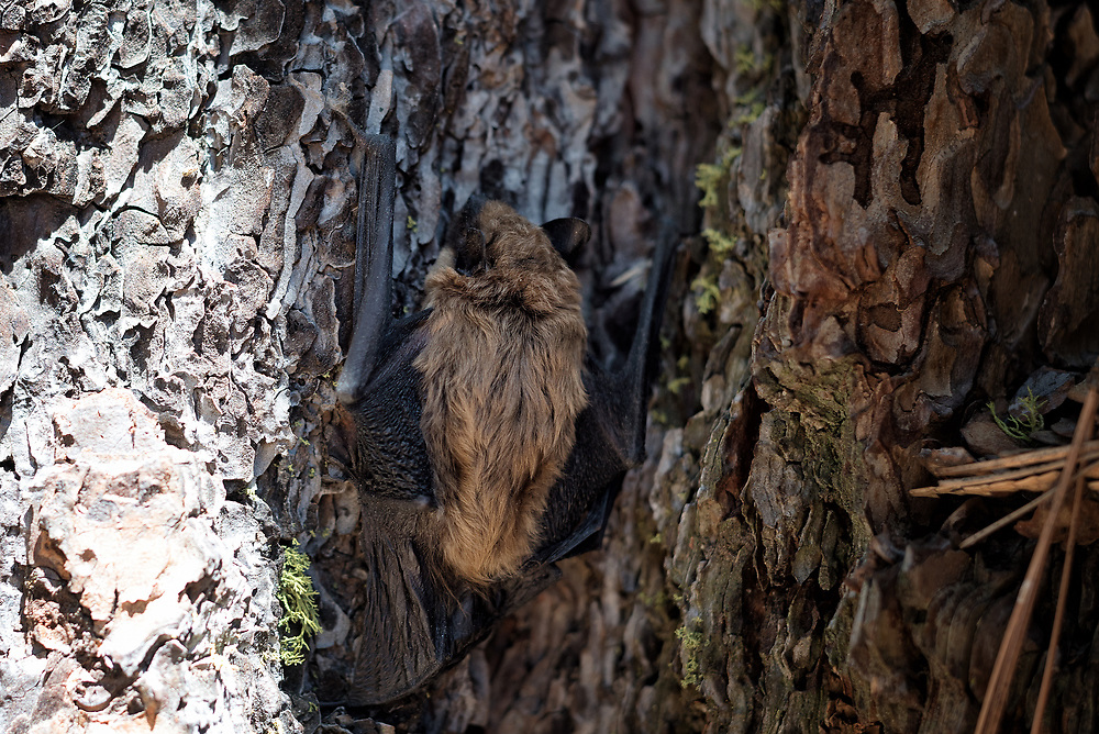 A big brown bat climbs a tree in order to take flight, Sierra National Forest, California