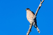 An adult Cooper's Hawk (Accipiter cooper) perched on a branch, hunting (Tucson, Arizona)