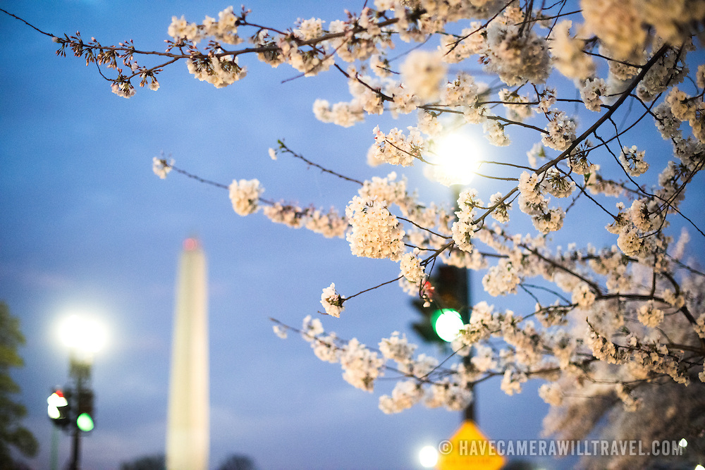 WASHINGTON DC--Washington DC's famous cherry blossoms, and gift from Japan in 1912, in full bloom around the Tidal Basin. The peak bloom each year draws hundreds of thousands of tourists to Washington DC each spring. This shot was taken before sunrise, with the Washington Monument in the background.