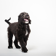 Again, Snickers is the only puppy in the gallery that wasn't photographed for an adoption profile because Snickers already had a family.  Snickers is a labradoodle.