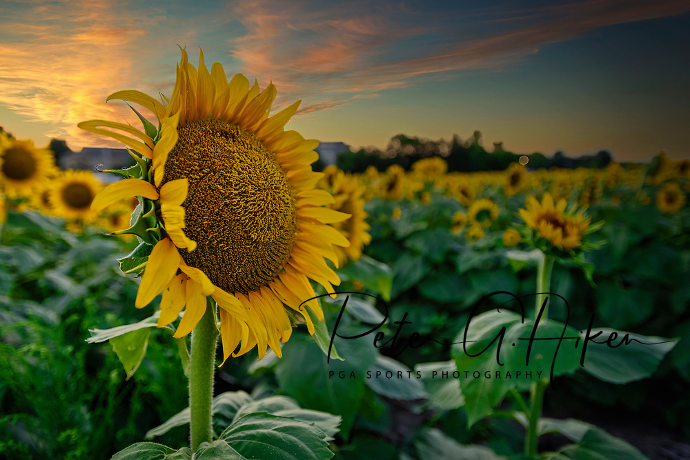 The sun sets behind a field of sun flowers in the Flint Hills.