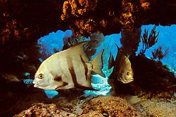 Atlantic spadefish, Chaetodipterus faber, Molasses Reef, Key Largo, Florida Keys National Marine Sanctuary, Atlantic Ocean