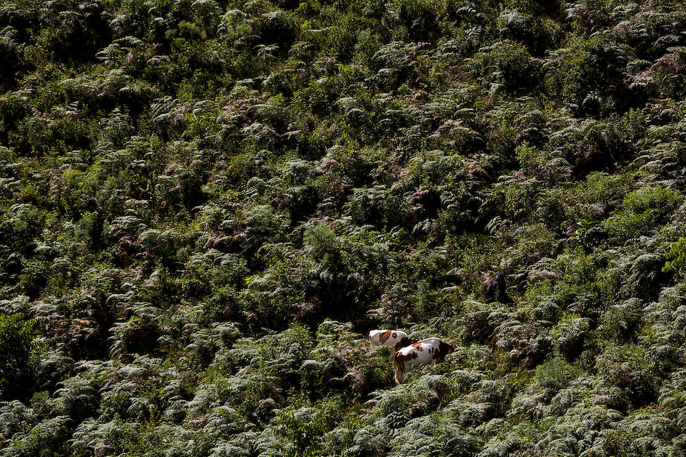 Iuna_ES, Brasil...Gado pastando em Iuna...A cattle grazing in Iuna...Foto: LEO DRUMOND / NITRO
