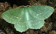 Large Emerald Moth, Geometra papilionaria, UK, green, adult, patterend wings