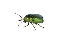 A leaf beetle - Cryptocephalus hypochaeridis