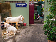 24 SEPTEMBER 2015 - BANGKOK, THAILAND:  Rams in a residential street before their sacrifice during the celebration of Eid al-Adha at Haroon Mosque in Bangkok. Eid al-Adha is also called the Feast of Sacrifice, the Greater Eid or Baqar-Eid. It is the second of two religious holidays celebrated by Muslims worldwide each year. It honors the willingness of Abraham to sacrifice his son, as an act of submission to God's command. Goats, sheep and cows are sacrificed in a ritualistic manner after services in the mosque. The meat from the sacrificed animal is supposed to be divided into three parts. The family retains one third of the share; another third is given to relatives, friends and neighbors; and the remaining third is given to the poor and needy.    PHOTO BY JACK KURTZ