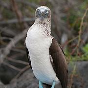 Blue-footed booby (Sula nebouxi) standing on a rock. San Cristobal Island, Galapagos, Ecuador