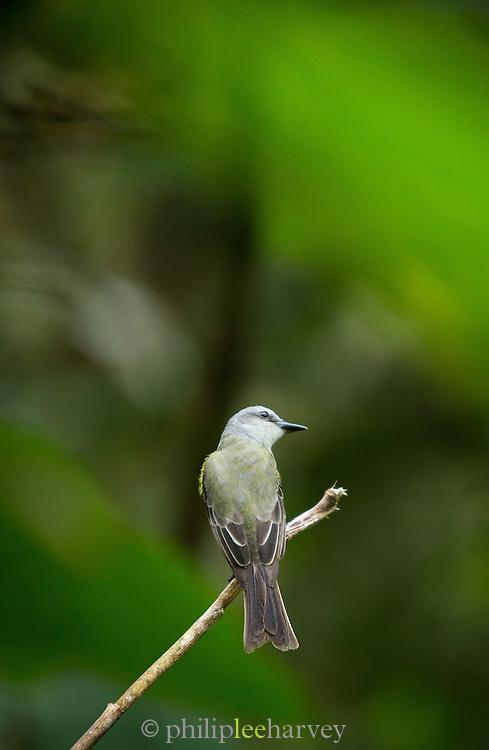 Moss-backed Tanager, Mashpi Reserve, Ecuador, South America