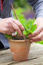 Taking heel cuttings from honeysuckle. Lonicera 'Graham Stuart Thomas'. Dibbing cuttings into terracotta pot