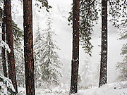 Trees jut through atmospheric fog and snow. A pleasant snowshoe trip follows Eightmile Creek Road #7601 from Bridge Creek Campground and Eightmile Campground, in Wenatchee National Forest, a side trip from Icicle Creek Road, Leavenworth, Washington, USA.