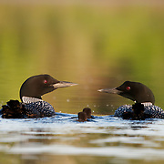 Common loon or great northern diver (Gavia immer) adult with chicks. Island Lake, Minnesota