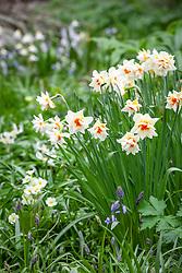 Narcissus 'Mary Copeland'