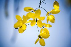 Cassia fistula, Golden Shower Tree #1