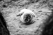 Seal Colony, Horsey
