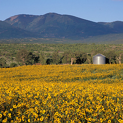 Monticello, UT.Field of common sunflowers, helianthus annus.  Abajo Mtns.