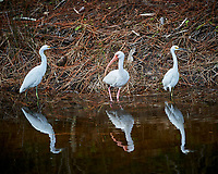Pair of Snowy Egret and White Ibis. Black Point Wildlife Drive, Merritt Island National Wildlife Refuge. Image taken with a Nikon D3s camera and 80-400 mm VR lens (ISO 200, 350 mm, f/5.6, 1/200 sec).