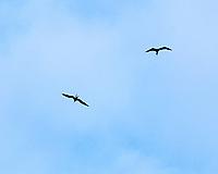 Magnificent Frigatebird (Fregata magnificens). Image taken with a Leica D-Lux 5 camera