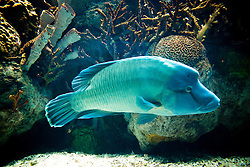 Side View of Napoleon Wrasse