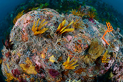 Crinoidea, Ophiuroidea, Korallenriff mit Harrsterne und Federsterne, Coralreef with Crinoids and Ophiuroids or Feather Stars, False Bay, Simons Town, Suedafrika, Indischer Ocean, False bay, Simons Town, South Africa, Indian Ocean