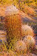 Morning light on barrel cactus, Anza-Borrego Desert State Park, California USA
